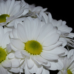 Daisies (Paula J James) Tags: flowers flower daisies whiteflower daisy whiteflowers largedaisy largedaisies hennysgardens