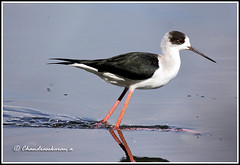 "2711 - black-winged stilt -""Explored"" on 1st Jan,2013 (chandrasekaran a 546k + views .Thanks to visits) Tags: india nature birds chennai blackwingedstilt tamron200500mm canon60d"