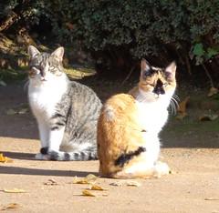 Gatos espaoles (sftrajan) Tags: autumn espaa cats fall automne andaluca spain gatos granada kitties otoo andalusia espaoles cc100 carmendelosmrtires spanishcats sonydsch90 gatosespaoles