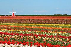 Tulips and Windmill (docoverachiever) Tags: flowers color nature windmill field oregon rainbow tulips woodenshoetulipfestival flickrchallengegroup flickrchallengewinner beginnerdigitalphotographychallengewinner storybookwinner