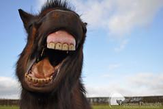 *yawn* (Vicktrr) Tags: hairy cute furry funny teeth yawn sleepy shetland muzzle headcollar shetlandpony shetlandponies leciestershire horseyawn hairypony ponynose ponyyawning