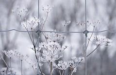 white winter weeds (marianna armata) Tags: blue winter cold square landscape grey frozen cool wire frost hoarfrost gray diagram icy squared plot brrr hff happyfencefriday mariannaarmata