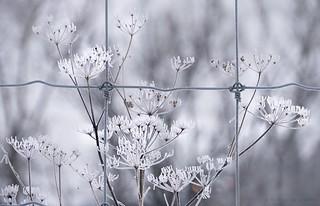 white winter weeds