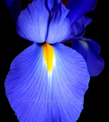 Iris (frangipanica) Tags: simplyflowers perfectpetals beautifulblossoms freeflickrflowers flickrsawesomeblossoms eliteofflickrsawesomeblossoms unforgettableflowers flowersonflickr
