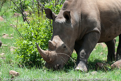 "White Rhino • <a style=""font-size:0.8em;"" href=""http://www.flickr.com/photos/56545707@N05/8364598062/"" target=""_blank"">View on Flickr</a>"