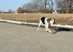 1/12/a (Bear) Get yer motor runnin'.... (Scoutdogs (Chris)) Tags: bear beagle february challenge trot fromthehip borntobewild bluetick 12monthsfordogs13