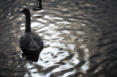 The shadow of a swan (K16mix) Tags: winter lake nature japan landscape swan asia lotus swamp     miyagi tohoku  touhoku    izunuma     ramsarconvention tomeshi  kuriharashi