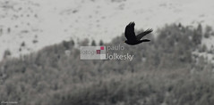 Flying (paulo jolkesky) Tags: winter black cold bird nature flying nikon natural natureza negro flight pssaro preto d200 inverno blackbird frio img vo voando nikond200 apsc