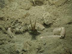 Corystes cassivellaunus (Centro Sub Monte Conero) Tags: mar mediterraneo mare centro crab muck conero numana nord sabbia adriatico ancona granchio sirolo benthos crostaceo corystes cassivellaunus