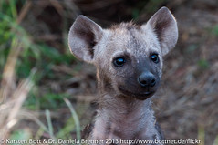 "Baby Hyena • <a style=""font-size:0.8em;"" href=""http://www.flickr.com/photos/56545707@N05/8399206518/"" target=""_blank"">View on Flickr</a>"