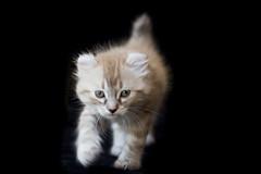 Highlander kitten that my friend raises. (Marit Welker Photography) Tags: cats forsale highlander kittens highlanders catpictures dashey dasheyhighlanderscom