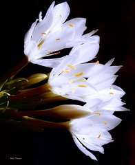 White Flowers on Black (Grandpa@50) Tags: blackbackground flowers challengeyouwinner herowinner bigmomma friendlychallenges