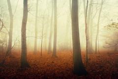 In the mist we stand (opdrie) Tags: trees light orange mist holland color tree nature netherlands leaves misty fog forest landscape foggy nederland niederlande artlibre