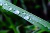 Little Drops (dmarzai) Tags: green nature water leaves drops nikon italia campania valledimaddaloni maddaloni iamnikon nikond3100 dmarzai