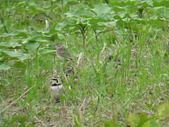 Vesper Sparrow and Horned Lark by SpeedyJR (SpeedyJR) Tags: reynoldscreekgha 2016janicerodriguez vespersparrow sparrows hornedlark larks birds wildlife nature reynoldscreekgamebirdhabitatarea gha portercountyindiana indiana speedyjr