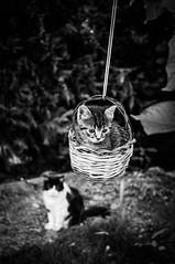 Cute Kitten Fly (Angelo Petrozza) Tags: kittens fly gattini micio blackandwhite biancoenero basilicata bw focus pentaxk20d cesto nest garden giardino sospeso