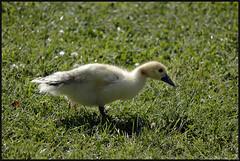 Minipato. (anna punx) Tags: laguna lake lagunadeduero valladolid agua water dulce sweet lago pesca fishing ducks patos