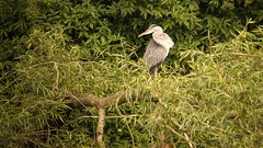 Hron dans les arbres. (Yasmine Hens) Tags: bird europa flickr belgium sony oiseau namur hens hron yasmine wallonie hensyasmine sonydscrx10m3