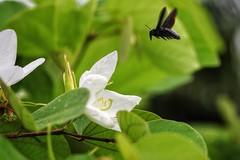 Big bug (leewoods106) Tags: bug insect thailand flying asia southeastasia khaolak canonef100mmf28macrousm