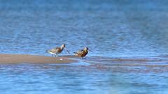 Bar-tailed godwits on the beach. (Limosa lapponica) (Sirke Vaarma) Tags: yyteri godwit beach ranta sea meri