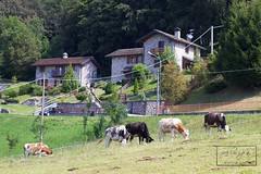 Arnosto - Italy (ALWIPA.com) Tags: arnosto valimagna valleimagna fuipiano fuipianovalleimagna cow cows mucche mucca natura nature lombardy lombardia mountain mountains montagna montagne alpi alpes italia italy