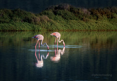 Ibiza Ses Salinas 8078 (joana dueas) Tags: ibiza island balearicislands meditereansea flamingos joanadueas photofeeling seascape spain sonya7rii