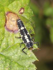 14 Spot Ladybird Larva (Prank F) Tags: titchmarshlnr wildlifetrust northantsuk wildlife nature insect macro closeup beetle ladybird ladybug 14spot larva
