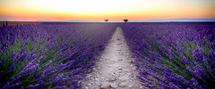Lumire & Couleurs......... (Malain17) Tags: lavender colors image provence france photography photographers pentax coucherdesoleil perspective panorama fleurs sillons soleilcouchant nature wow