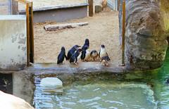 Fairy penguins (VirtualWolf) Tags: animal australia bird canonef135mmf2lusm canoneos7d equipment littlepenguin mosman newsouthwales penguin places sydney tarongazoo wildlife