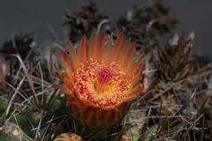 Beauty Amongst Spines (harefoot1066) Tags: cactaceae ferocactus ferocactuswislizeni barrelcactus candybarrelcactus