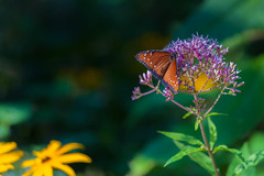 Queen (jimmy_racoon) Tags: 70200 f4l is canon 5d mk2 danaus gilippus minnesota zoo butterfly nature queen 70200f4lis canon5dmk2 danausgilippus minnesotazoo