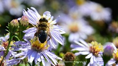 Fly in Flower Paradise (Amberinsea Photography) Tags: flowers bees flowerfly nature macrophotography beautiful amberinseaphotography sweden