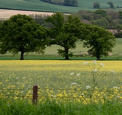 Three Tremendous Trees (NJKent) Tags: saveearth dartmoor uk fields fence buttercups trees