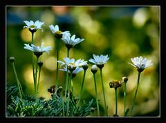 noch ein paar Blumen zum Freitag !!! (karin_b1966) Tags: blume flower blüte blossom pflanze plant garten garden natur nature 2015 margeriten yourbestoftoday