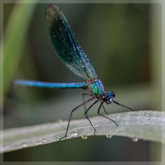 Prachtlibelle_4271 (uwe_cani) Tags: gebnderteprachtlibelle prachtlibelle libelle insekt bach gras makro natur outdoor fauna deutschland nrw rur