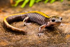 Western Long-Toed Salamander (Ambystoma macrodactylum macrodactylum) (John P Clare) Tags: ambystomamacrodactylummacrodactylum ambystomatid ambystomatidae oregon westernlongtoedsalamander westernlongtoesalamander amphibian newt salamander stripe yellow