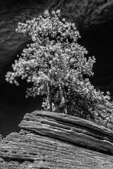 DSC_0053-Edit-Edit-Edit-01FAA (john.cote58) Tags: mountains rock stone geography growth erosion iron outdoors outside statepark art design landscape fossils ancient baron formations utah zionstatepark zion nationalpark trees spring seasons field bw blackandwhite monotone painted sky specialeffects valley clouds us ir infrared