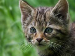 Close-up of the little wild kitty (FocusPocus Photography) Tags: wildkatze wildcat katze cat feline tier animal wildtier wildlife felissilvestris wildparadies tripsdrill kitten jungtier ktzchen