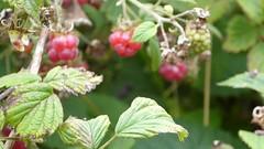 The reddest raspberries (seikinsou) Tags: ireland westmeath summer haiku forest raspberry wild berry video