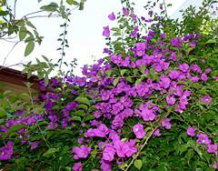 bougainvillea in the yard 7-16 (nolehace) Tags: bougainvillea yard 716 flower bloom plant sanfrancisco fz1000 summer nolehace