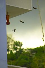Hummingbird (NochedeLunaLlena) Tags: colombia santander bucaramanga bokeh dia hummingbird colibr aves bird
