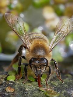 Auch die Bienen müssen bei dieser Hitze fleißig trinken