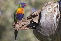 Rainbow Lorikeet 2016-08-07 (60D_2615) (ajhaysom) Tags: rainbowlorikeet trichoglossushaematodus woodlandshistoricpark greenvale melbourne australia australianbirds canoneos60d sigma150600