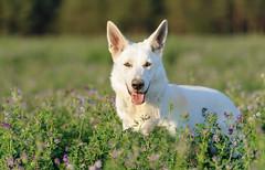 _F014807 (b.kunst17) Tags: nikon nikkor d3s 70200 vrii hund hunde tier tiere haustier haustiere animal animals dog dogs pet pets weisser schferhund