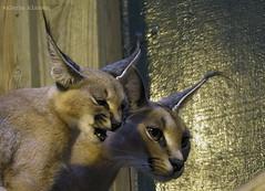 P1040503 (LaBonVampire) Tags: caracal animals nature leica leicalenses lumix