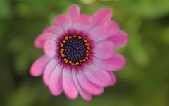Floral Fantasy (shelley.sparrow) Tags: softbeauty shelleysparrow brisbane queensland australia nature flower dreamy pink garden beauty nikon spring bokeh depthoffield daisy petals softfocus pollen 6thseptember colourful bright floralfantasy macroflowers