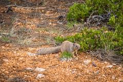 Rock Squirrel Spermophilus variegatus (Serendigity) Tags: rocksquirrel utah landscape spermophilusvariegatus squirrel nature outdoors unitedstates brycecanyonnationalpark usa animal