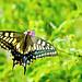 Female Yellow Swallowtail on Small Flower : 花にとまるキアゲハ(♀)