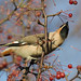 Waxwing from below Notts WT cpt Mike Vickers