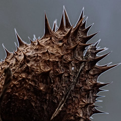 12-12-12: I heart weird plants (lucymagoo_images) Tags: brown plant abstract detail macro texture nature photoshop altered dark square spiky weird experimental artistic sony digitalart creative sharp spike unusual spikes thorny rx100 lucymagoo lucymagooimages
